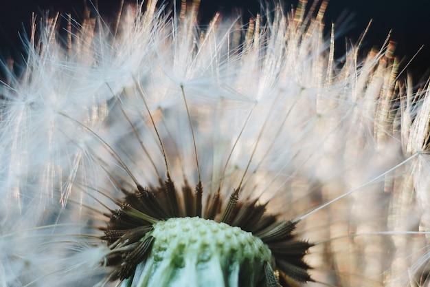 Macro photo de peluches de pissenlit blanc
