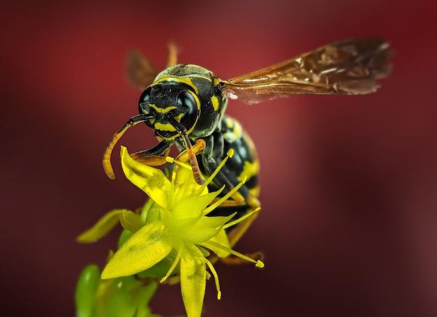 Macro photographie de l'abeille