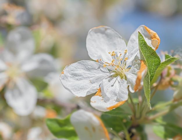 Macro photographie de fleurs de pomme blanche