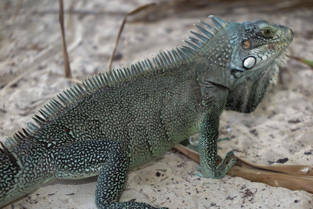 Macro portrait lézard iguane