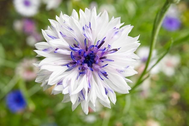 La macro pousse de bleuet blanc. centaurea montana est la fleur nationale estonienne.
