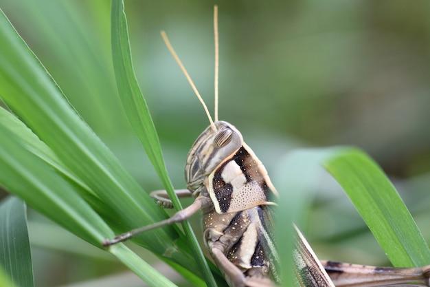 Macro de sauterelle brune perchée sur une feuille.