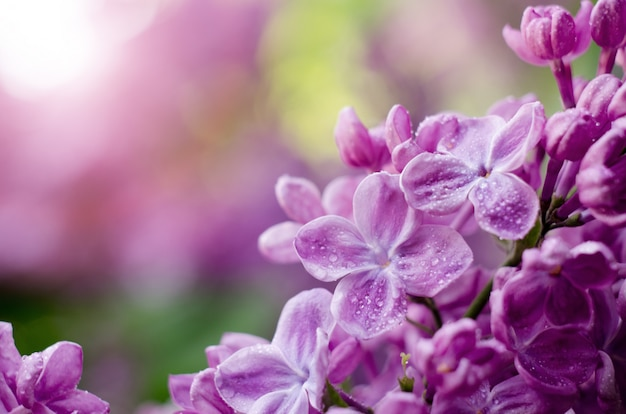 Macro shot fleurs violettes lilas violettes pourpres.