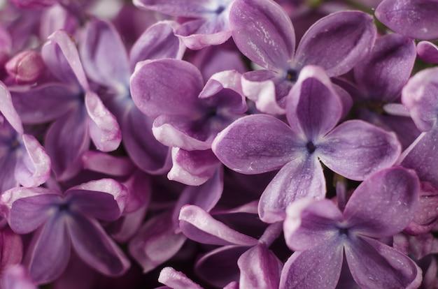 Macro shot fleurs violettes lilas violettes.