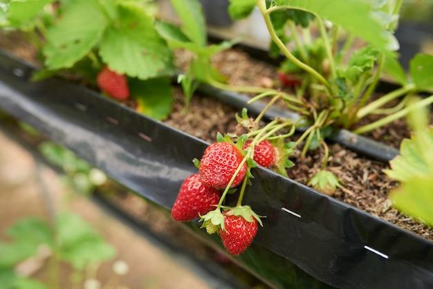 Macro shot d'une grappe de fraises mûres qui poussent dans un lit de jardin
