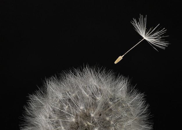 Macro tête de pissenlit et graines volantes sur fond noir.