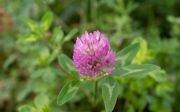 Macro de trèfle en fleurs avec fleur rose gros plan sur la fleur de trèfle rose sur le pré vert d'été