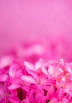 Macro vue rapprochée de fleurs rose jacinthe sur fond rose. concept de vacances, célébration, journée de la femme, fête des mères