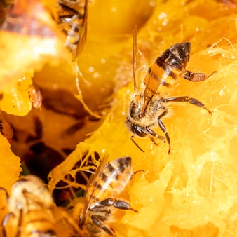Macrophotographie d'abeille mangeant de la mangue.