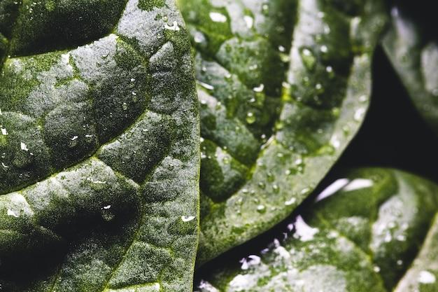 Macrophotographie d'épinards frais avec des gouttes d'eau
