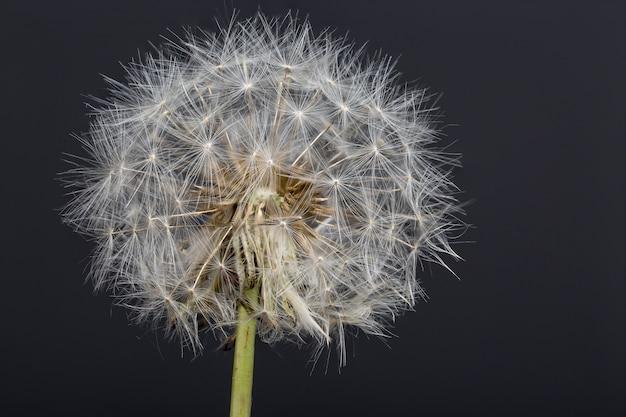Macrophotographie de fleur de pissenlit avec fond sombre