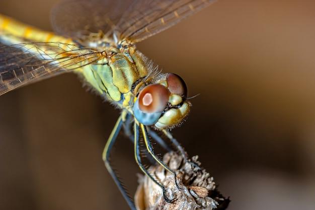 Macrophotographie de libellule (sympetrum sp)