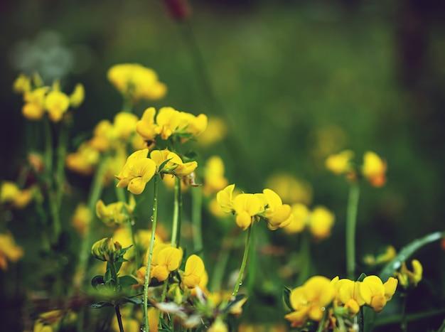 Macrophotographie de petites fleurs jaunes dans le pré