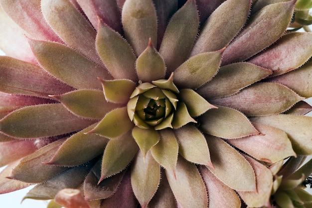 Macrophotographie de plantes de la famille sempervivum de la série big sam. nom pays rouge