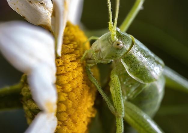 Macrophotographie d'une sauterelle