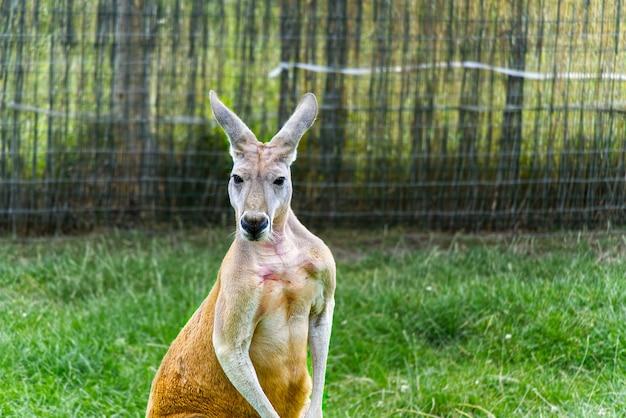 Macropus rufus ou portrait de kangourou rouge
