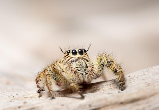 Macros d'araignée jaune