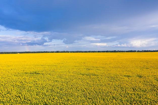 Magnifique champ de tournesols avec vue panoramique en été.