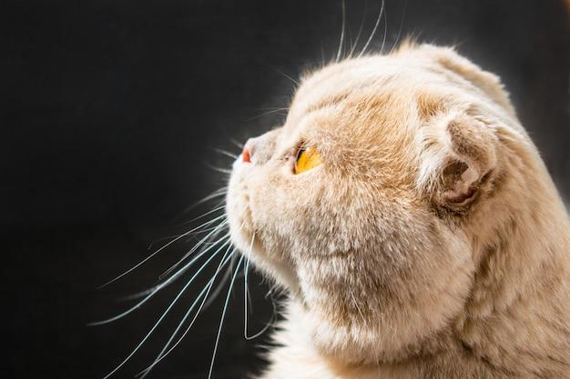 Magnifique chat écossais