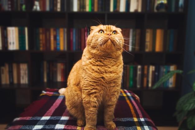 Magnifique chat roux britannique à poil court. intérieur de la bibliothèque à domicile.