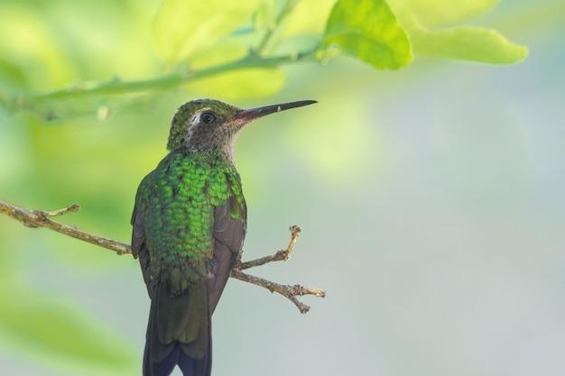 Magnifique colibri abeille verte par derrière, regardant sur le côté au bout d'une branche