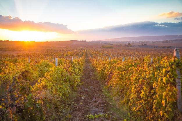 Magnifique coucher de soleil sur de belles vignes vertes