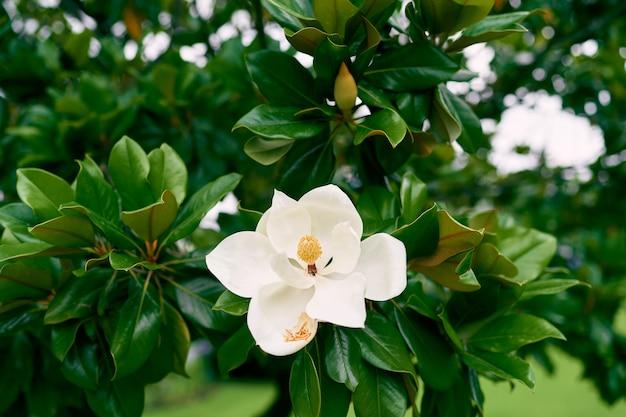 Magnifique fleur de magnolia blanc sur buisson vert