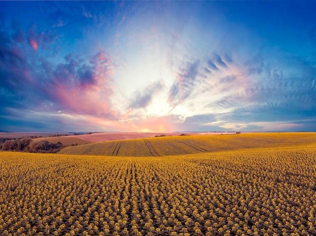 Magnifique paysage d'été. coucher de soleil coloré sur un champ de tournesol.