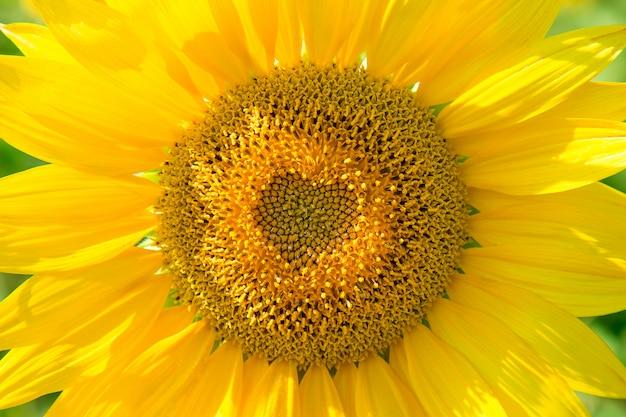 Magnifique tournesol jaune dans le champ, en gros plan, le noyau est en forme de coeur