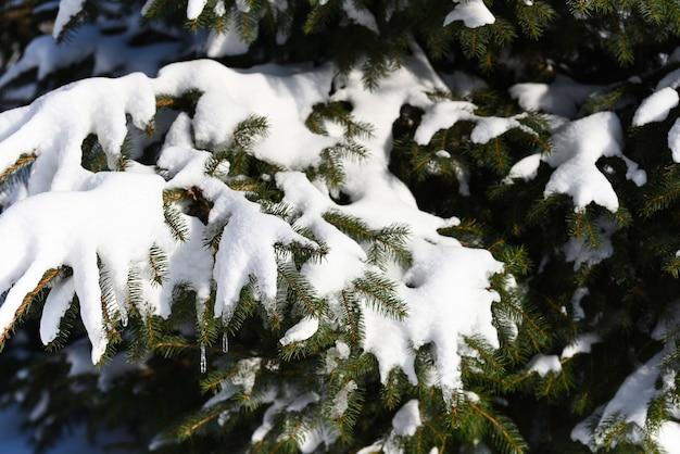 Magnifique vue sur les conifères après le blizzard