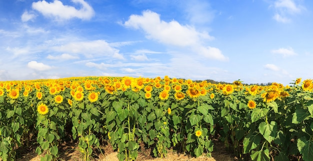 Magnifique vue panoramique du champ de tournesols sous un ciel bleu, paysage d'été nature