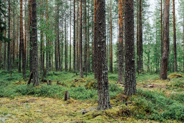Magnifiques arbres forestiers onifères. arrière-plans de bois vert nature