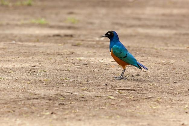 De magnifiques étourneaux peuvent être vus à la fois dans la nature sauvage et près de l'habitation de l'homme, répandu dans l'oiseau du kenya.