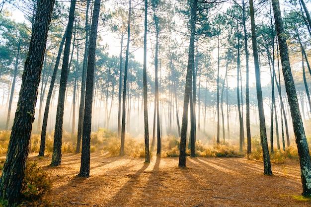 Magnifiques rayons de soleil dans les pins. beau paysage naturel.