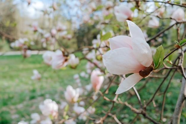 Magnolia à fleurs roses dans le parc