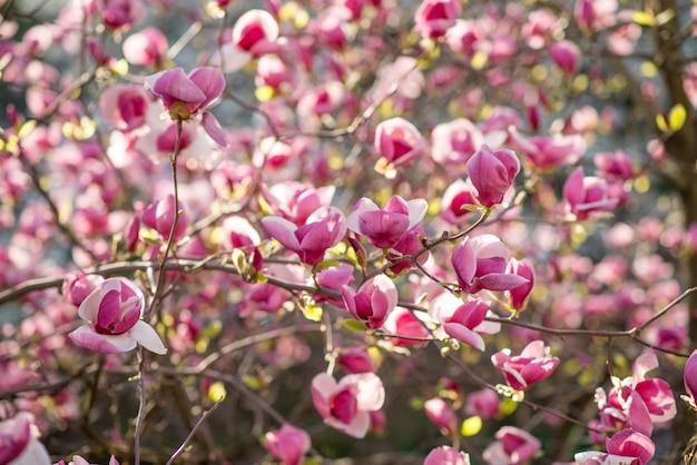 Magnolia rose en fleurs sur la nature. fleurs de magnolia rose au lever du soleil