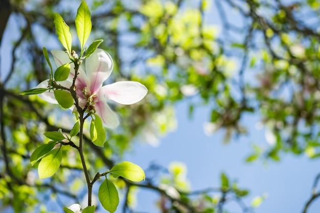 Magnolia tree avec des fleurs épanouies