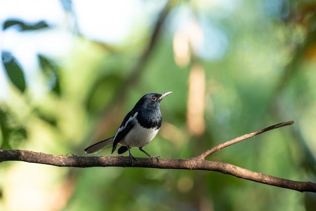 Magpie-robin oriental assis sur une branche