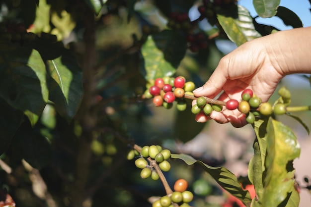 Une main d'agriculteur cueillant des baies de café mûres et crues