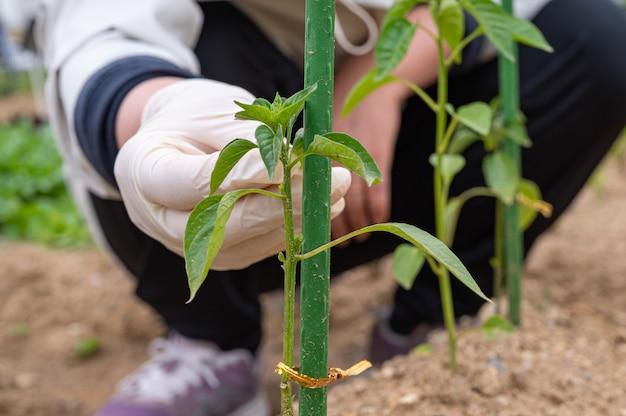 La main d'un agriculteur qui s'occupe des jeunes récoltes.