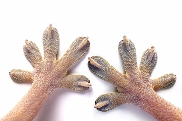 La main blanche du gecko sur fond blanc