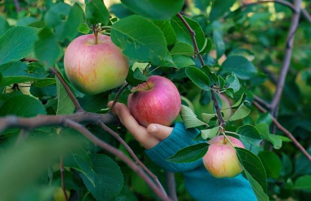 Une main cueillant une pomme mûre dans le jardin