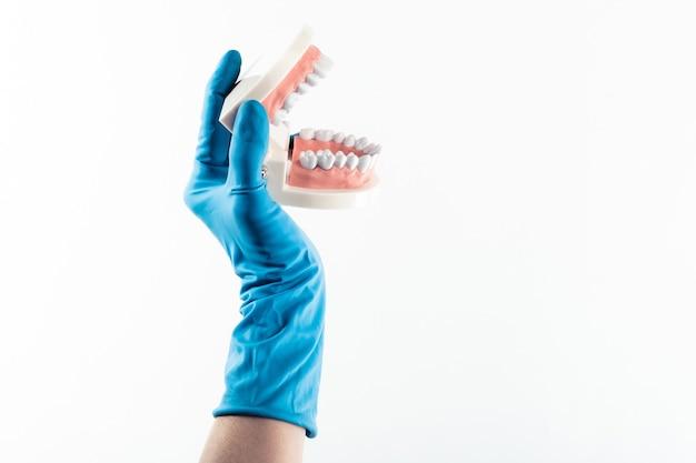 Main dans le gant bleu tenant le modèle de dents dentaires isolé sur fond blanc