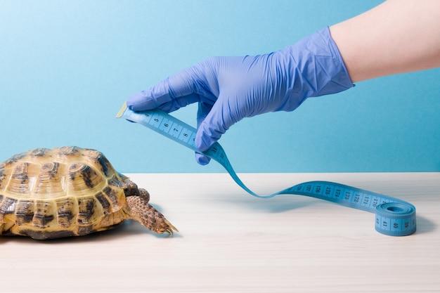 Une main dans un gant jetable en caoutchouc bleu mesure avec un ruban à mesurer la carapace d'une tortue terrestre