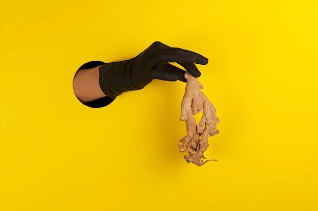La main dans le gant noir tient la racine de gingembre laide à travers le trou.