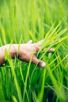 Main dans la rizière verte