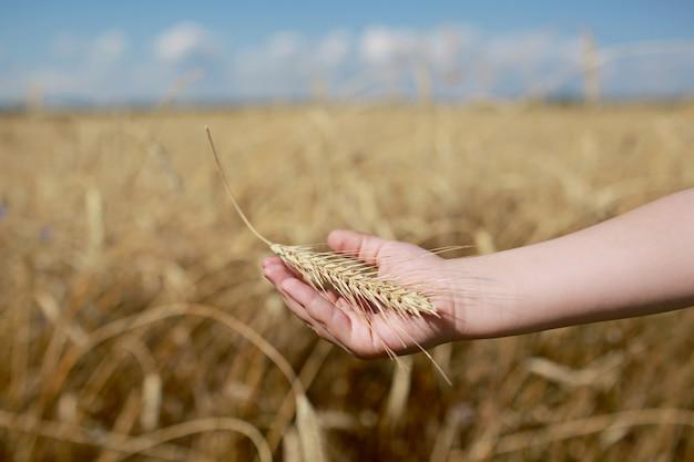 La main des enfants tient un épillet de blé sur le terrain