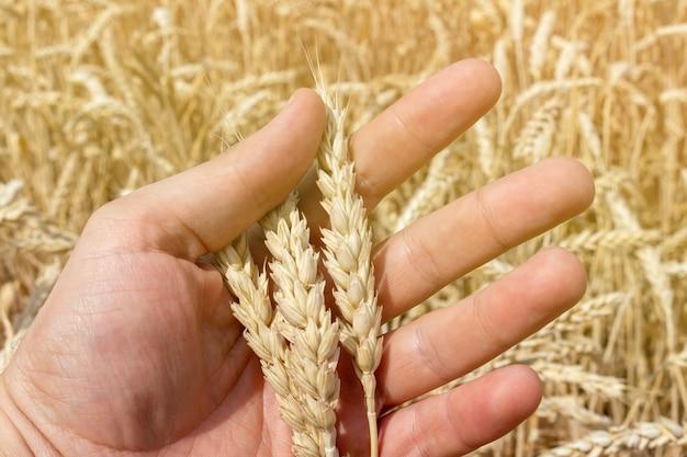 Main avec épis de blé grain close up