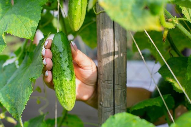 La main féminine des agriculteurs tient un concombre mûr récolte un concept d'aliments sains