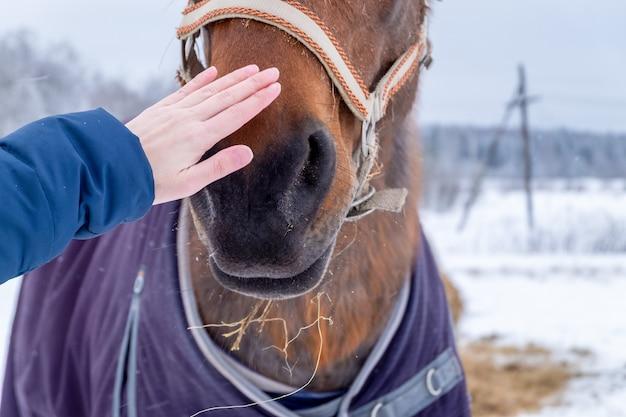 Main féminine caressant le museau d'un cheval dans la campagne en hiver